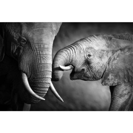 Canvasprint Olifant