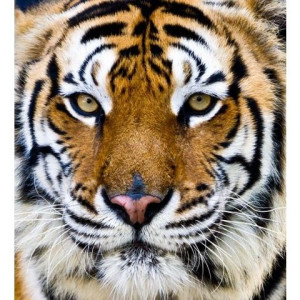 Canvasprint Tiger